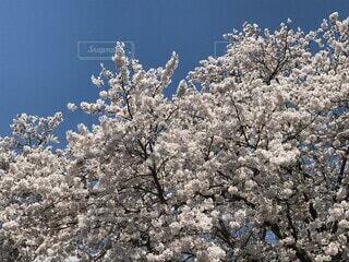 花,春,桜,屋外,ピンク,樹木,入学式,新学期,草木,針葉樹