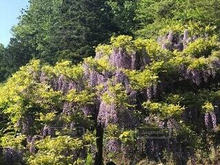 自然,公園,花,森林,屋外,緑,綺麗,紫,藤,樹木,草木,ガーデン,鬼滅の刃,鬼滅