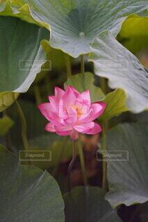 蓮の開花の写真・画像素材[4652263]