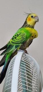 扇風機の上で仲良し鳥の写真・画像素材[4677460]