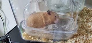 砂場(トイレ)で寝るゴールデンハムスターの写真・画像素材[4678332]