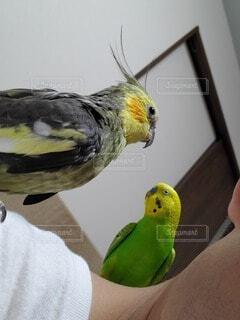 動物,鳥,屋内,緑,仲良し,グレー,セキセイインコ,オカメインコ,グリーン,灰色,オウム,肩の上,肩,放鳥