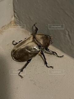動物,昆虫,カブトムシ