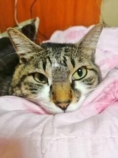 猫,自然,動物,屋内,ピンク,かわいい,景色,ペット,布,子猫,毛布,鼻,目,耳,ネコ科,ベッド,猫顔