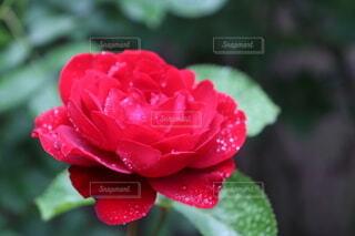 一輪の薔薇の写真・画像素材[4665523]