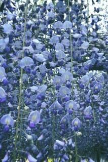 咲き誇るラベンダーの写真・画像素材[4657479]