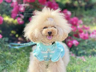 犬,花,動物,屋外,かわいい,草,薔薇,笑顔,プードル,テディベア,おしゃれ,着衣