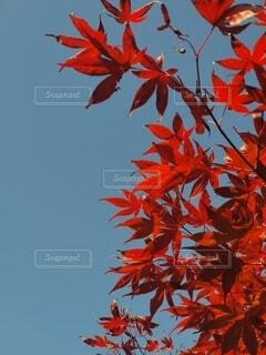 空,秋,赤,青,葉,樹木,草木,カエデの葉