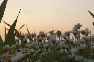 自然,空,花,屋外,景色,草,日の出,草木