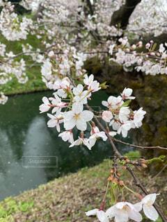 花,春,桜,屋外,樹木,ブルーム,ブロッサム,雨の日の桜