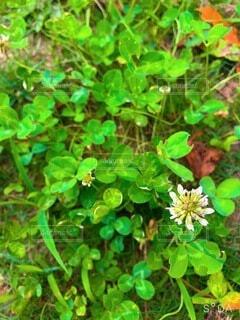 緑が鮮やかなクローバーの写真・画像素材[4661560]