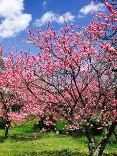 風景,空,ピンク,梅,青空,桃,桃色