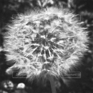 たんぽぽの綿毛の写真・画像素材[4660981]