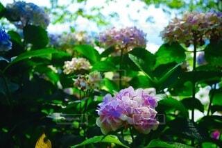 花,春,樹木,紫陽花,草木