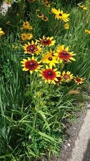 花,夏,屋外,赤,黄色,草木,ヒマワリ,ルドベキア