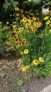花,夏,屋外,ひまわり,赤,黄色,草,草木,ルドベキア