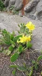 花,屋外,緑,黄色,道端,サボテン,多肉植物,草木,野生,フローラ