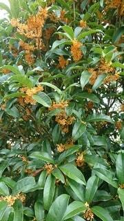 花,秋,屋外,オレンジ,樹木,草木,香り,キンモクセイ
