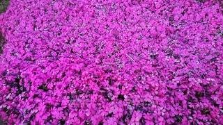 春,ピンク,満開,シバザクラ,うすむらさき