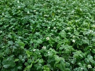 雨,屋外,緑,草,露,初夏,ハーブ,梅雨,草木,ガーデン
