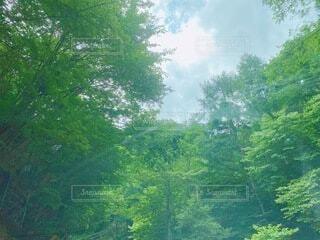 森の中の大きな木の写真・画像素材[4665466]
