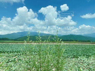 自然,風景,空,花,夏,屋外,緑,雲,晴れ,田舎,山,草,野菜,新緑,真っ青,キャベツ畑