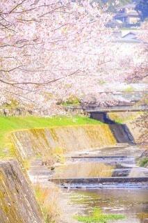 自然,花,桜,屋外,川,水面,草,樹木,草木