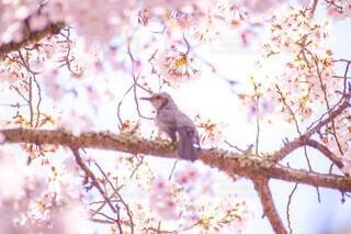 風景,花,桜,動物,鳥,屋外,景色,樹木,座る