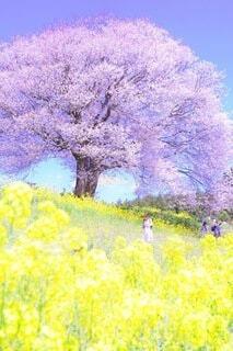 春,桜,菜の花,ラベンダー,絵画,草木