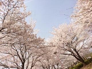 空,花,春,屋外,桜並木,樹木,草木,桜の花,さくら,ブロッサム