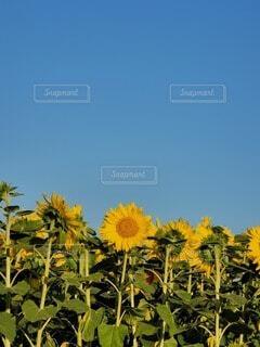 空,花,ひまわり,花束,黄色,草木