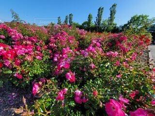 空,花,屋外,ピンク,景色,樹木,草木,ガーデン