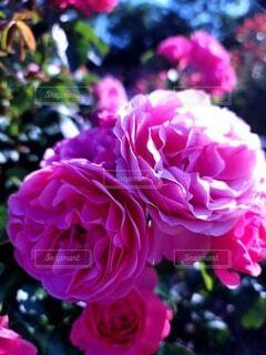 花,バラ,花びら,薔薇,草木,ブルーム,フロリバンダ,ハイブリッドティーローズ