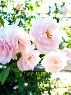 花,ピンク,晴天,バラ,薔薇,バラ園,草木