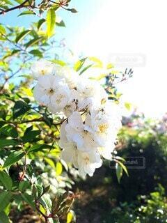 花,白,晴天,光,樹木,バラ園,草木