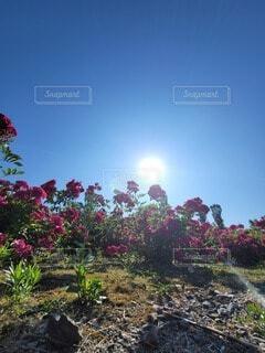 空,花,夏,秋,屋外,太陽,晴天,樹木,バラ園,草木