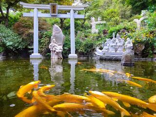 金色の鯉の群れ - No.785942