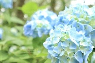 花,夏,緑,あじさい,青,梅雨,草木