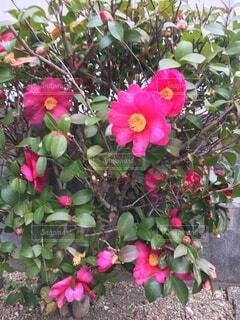 花,バラ,花びら,薔薇,草木,ガーデン,フローラ