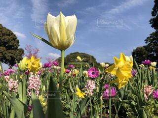 自然,空,花,春,花束,雲,綺麗,青空,散歩,チューリップ,観光,草花,横浜,みなとみらい,草木