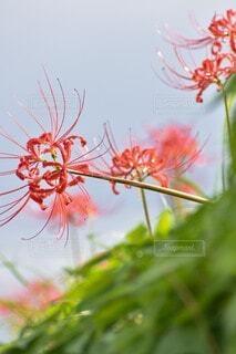 花,草木,ランブータン