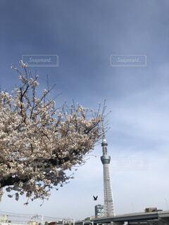 空,花,桜,屋外,スカイツリー,樹木,さくら