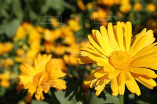 花,お花畑,フラワー,黄色,flower,イエロー,黄,yellow