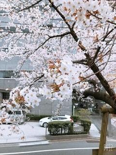 自然,桜,屋外