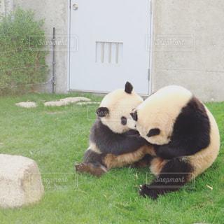 パンダの写真・画像素材[291493]
