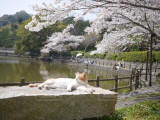 猫,空,桜,ねこ,ネコ,さくら