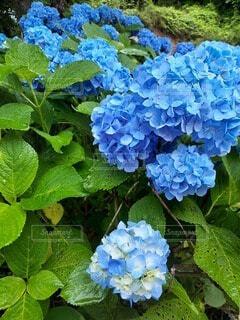 花,屋外,青,紫陽花,梅雨,草木,ガーデン,フローラ