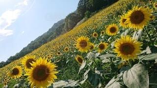 空,花,夏,屋外,ひまわり,黄色,広い,草木,キク目