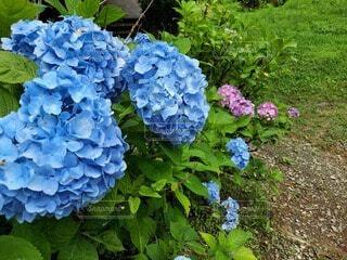 自然,花,夏,屋外,緑,あじさい,草,梅雨,草木,フローラ