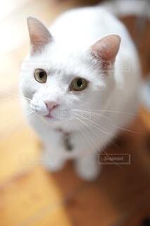 猫,動物,屋内,白,ネコ科